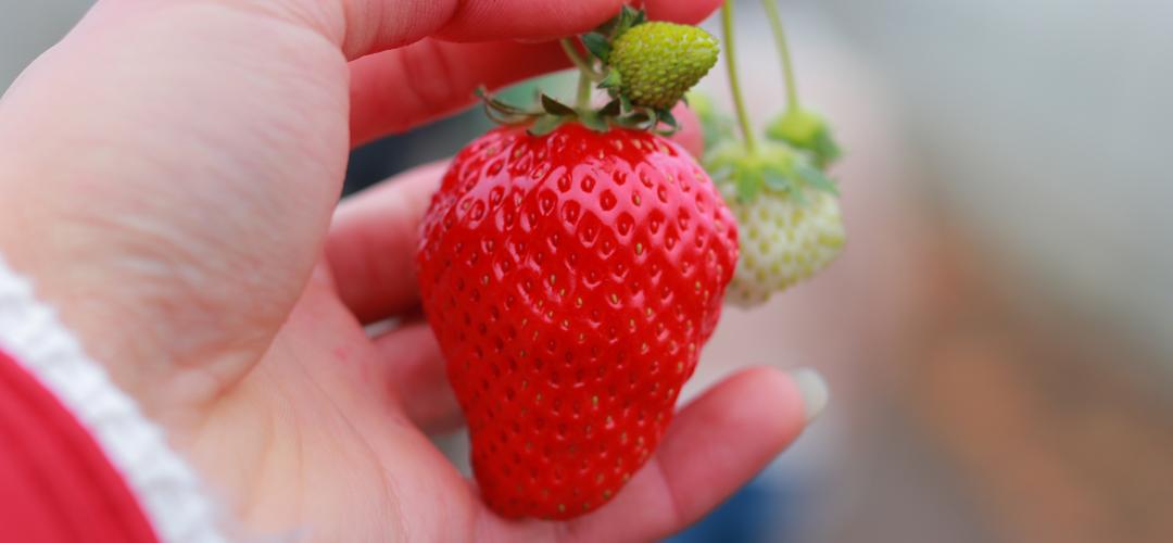 Fresas, una fruta con más vitamina C que la naranja